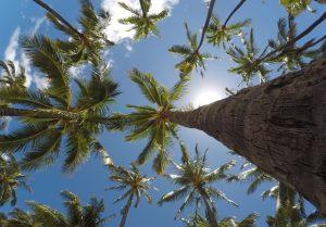 空に向かって伸びる沢山のヤシの木