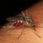 人肌から吸血している蚊