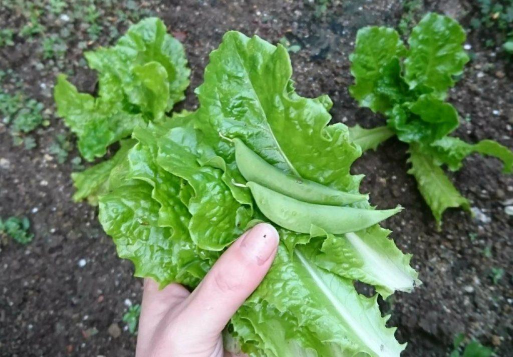 家庭菜園で育てたレタスとスナップエンドウ